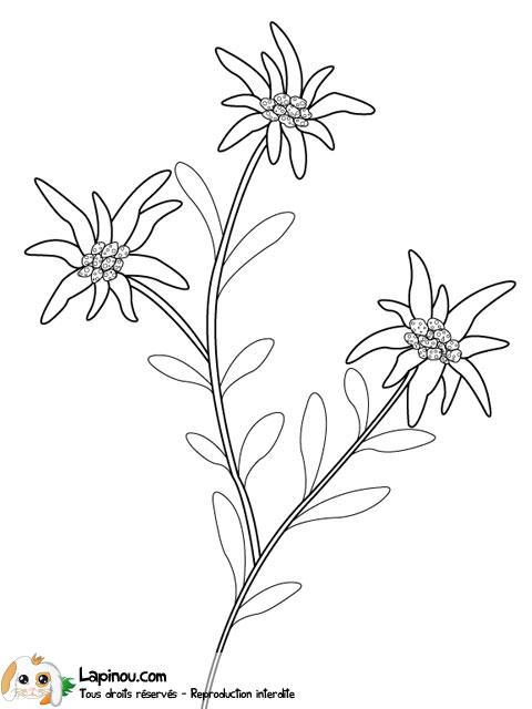Edelweiss des montagnes coloriages imprimer pour les enfants sur lapinou - Coloriage fleur edelweiss ...