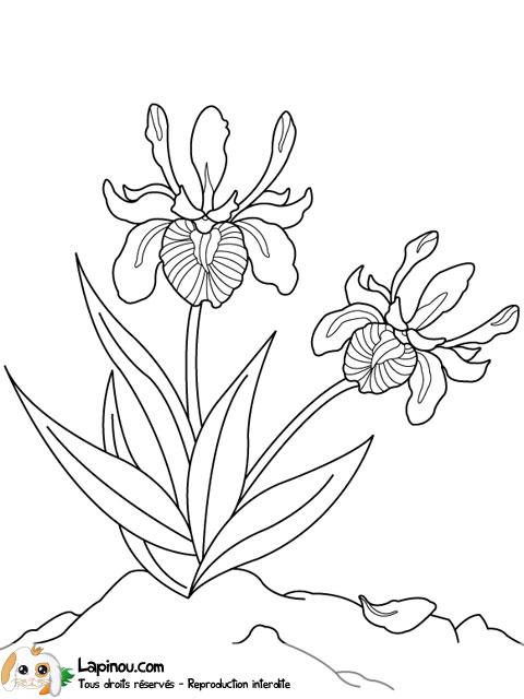 Iris en duo Coloriages imprimer