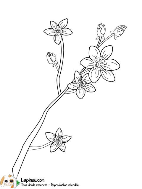 Coloriage Fleur Myosotis.Myosotis En Fleurs Coloriages A Imprimer Pour Les Enfants Sur Lapinou