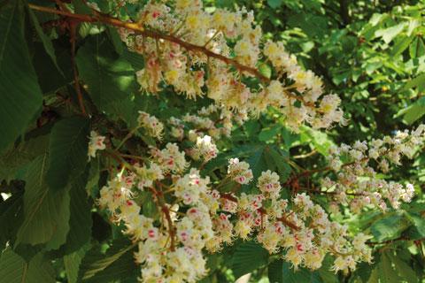 Fleurs de marronnier en gros plan