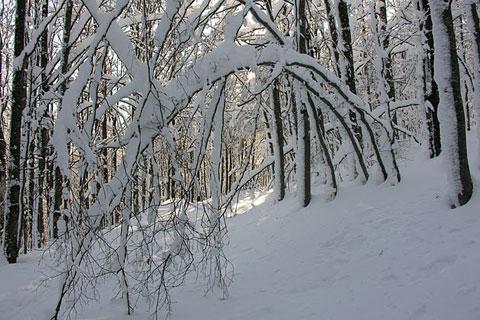 Arbres ployant sous la neige