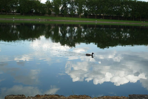 Canard qui nage